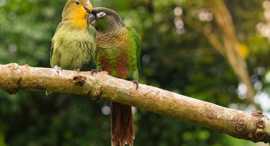 Pineapple Green Cheek Conure Bird