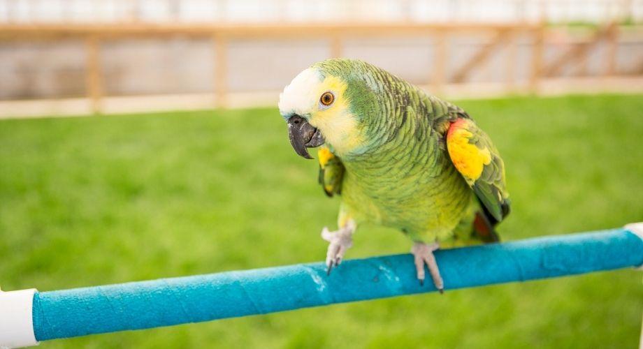 Perroquet Amazone