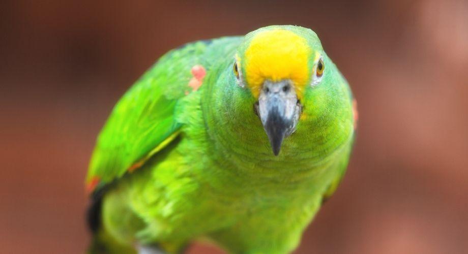 Panamá Amazonas Loros