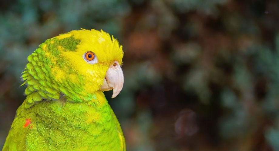 Loros Amazonas de Doble Cabeza Amarilla