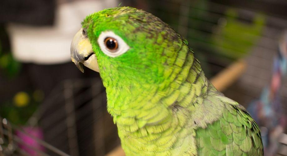 Loros Amazonas De Mejillas Verdes