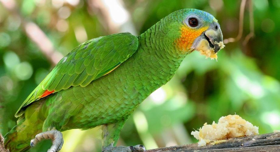 Loros amazónicos de alas anaranjadas