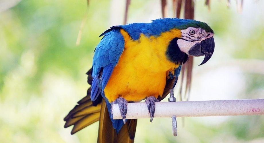 Loros guacamayos azules y dorados