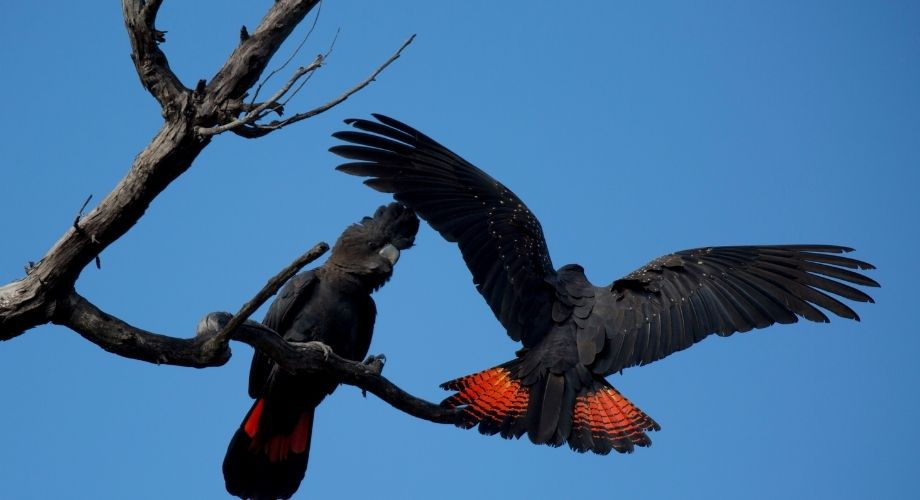 Cacatoès noir à queue rouge