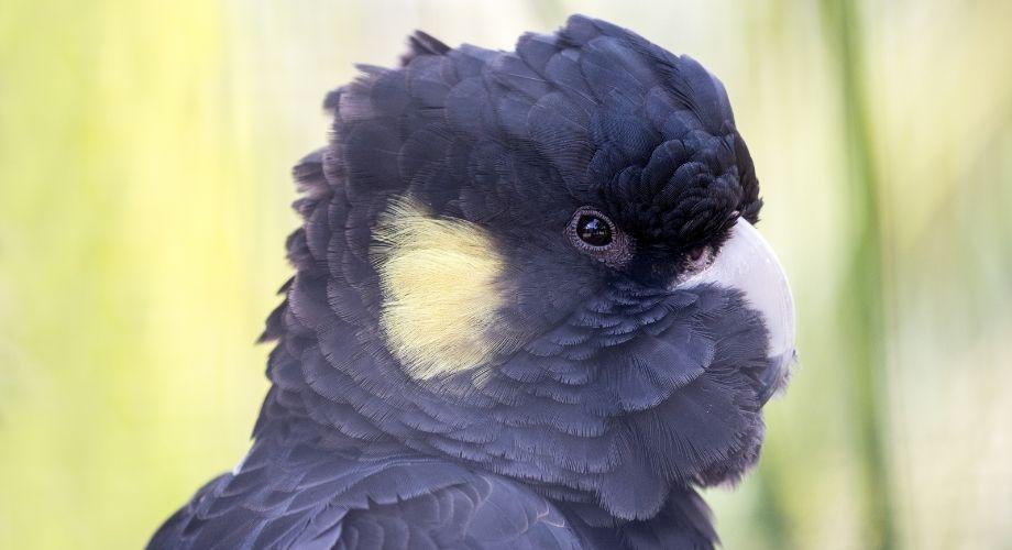 Cacatoès noir à queue jaune
